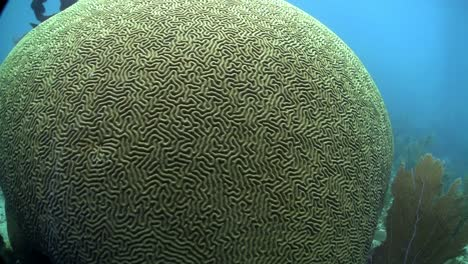 Beautiful-brain-coral-underwater