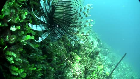 A-deadly-lionfish-floats-in-a-green-underwater-seascape-1
