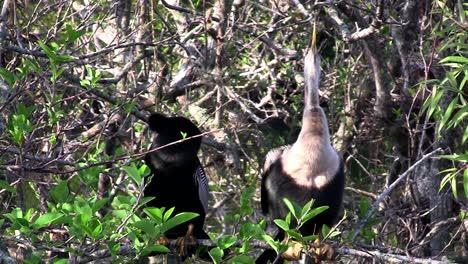 Un-Pago-De-Aves-Anhinga-En-Un-Pantano-En-Florida
