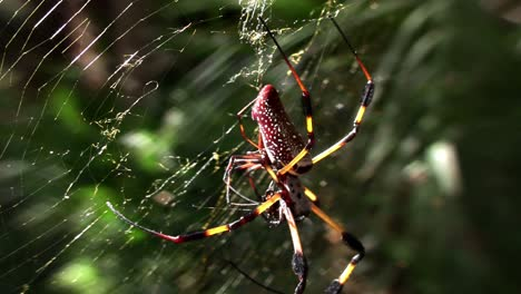 A-large-golden-web-spider-with-its-young