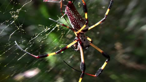 A-large-golden-web-spider-with-its-young-1