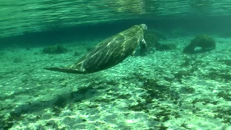 Good-footage-of-a-manatee-swimming-underwater
