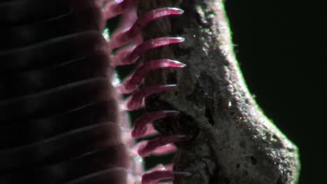 An-extreme-close-up-of-a-millipede-moving-along-a-branch-in-the-Everglades-3
