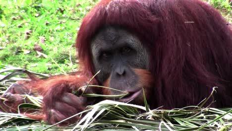 An-orangutan-lounges-on-the-forest-floor