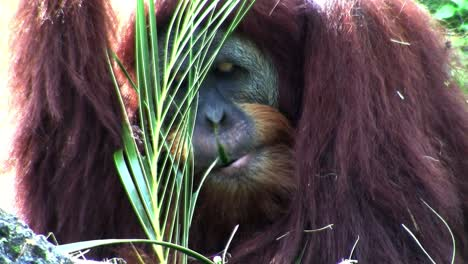 An-orangutan-lounges-on-the-forest-floor-eating-palm-fronds