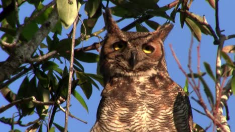 A-great-horned-owl-peers-down-from-a-tree-in-the-forest-1