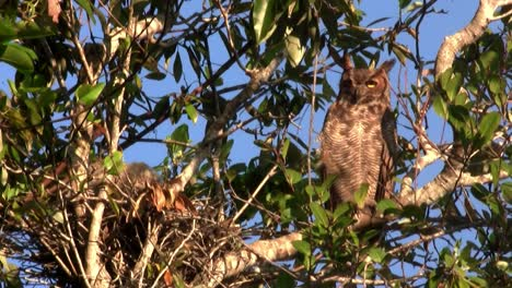 A-great-horned-owl-peers-down-from-a-tree-in-the-forest-2