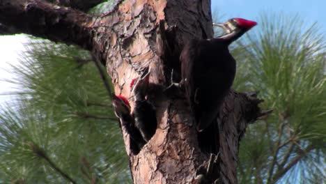 A-pileated-woodpecker-on-a-tree