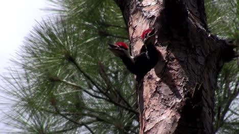 A-pileated-woodpecker-on-a-tree-1