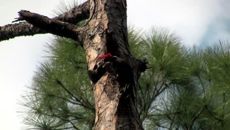 A-pileated-woodpecker-on-a-tree-2