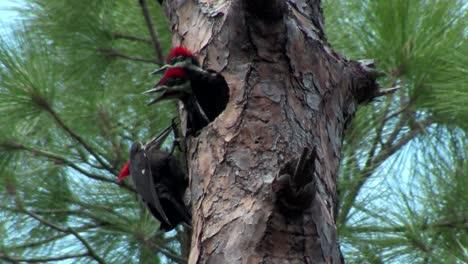 A-pileated-woodpecker-on-a-tree-4