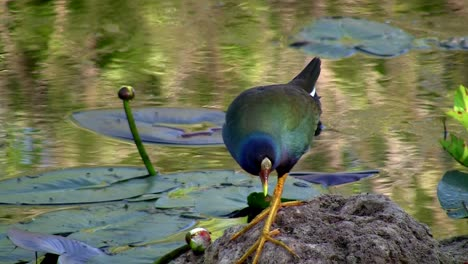 A-purple-gallinule-wades-through-the-water-in-the-Everglades-Florida