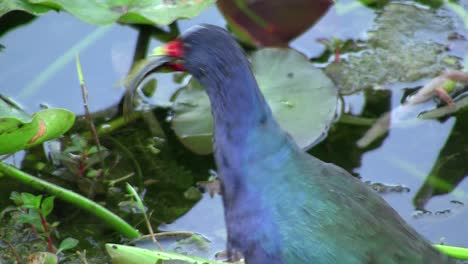 A-gallinule-in-a-swamp