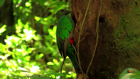 A-quetzal-parrot-at-his-nest-in-Costa-Rica-rainforest