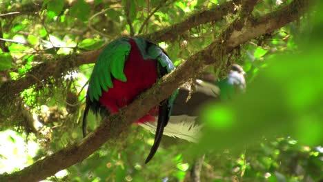 Un-Loro-Quetzal-En-Su-Nido-En-La-Selva-Tropical-De-Costa-Rica-1