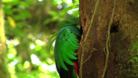 A-quetzal-parrot-at-his-nest-in-Costa-Rica-rainforest-2
