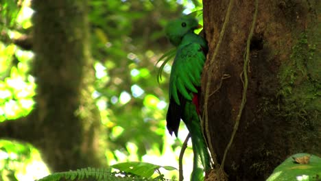 A-quetzal-parrot-at-his-nest-in-Costa-Rica-rainforest-3