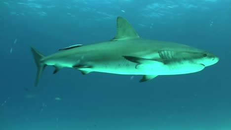 Good-footage-of-a-shark-swimming-underwater-2