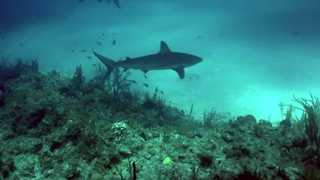 Sharks-swimming-underwater