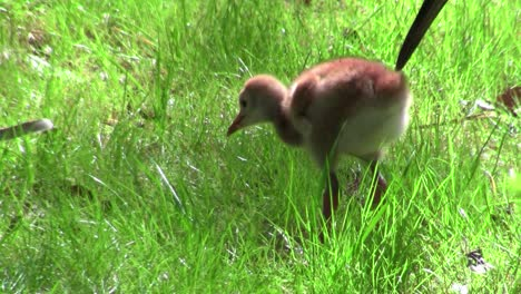 A-snadhill-crane-chick-walks-in-the-grass-as-its-mother-looks-on-2