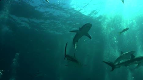Good-footage-of-a-shark-swimming-underwater-from-below