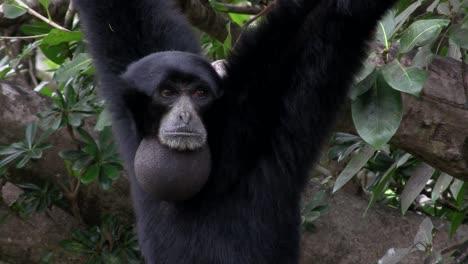 Ein-Siamang-Gibbon-Aus-Indonesien-Hängt-In-Einem-Baum