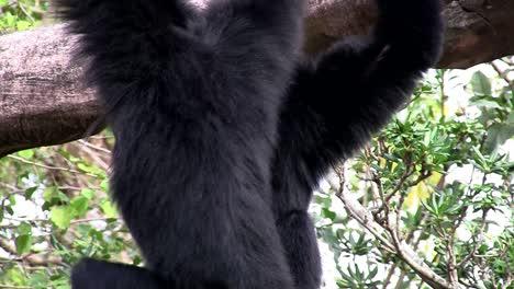 Ein-Siamang-Gibbon-Aus-Indonesien-Hängt-In-Einem-Baum-1