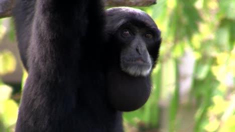 Ein-Siamang-Gibbon-Aus-Indonesien-Hängt-In-Einem-Baum-2