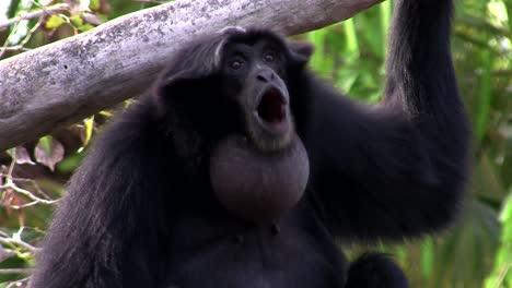 Ein-Siamang-Gibbon-Aus-Indonesien-Hängt-In-Einem-Baum-3