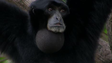 Ein-Siamang-Gibbon-Aus-Indonesien-Hängt-In-Einem-Baum-Und-Bläst-Sein-Kinn-Auf