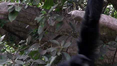Ein-Siamang-Gibbon-Aus-Indonesien-Hängt-In-Einem-Baum-Und-Bläht-Sein-Kinn-Auf-1
