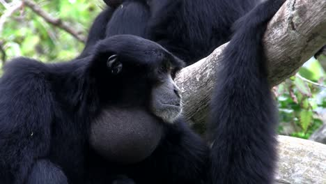 Ein-Siamang-Gibbon-Aus-Indonesien-Hängt-In-Einem-Baum-Und-Bläht-Sein-Kinn-Auf-2