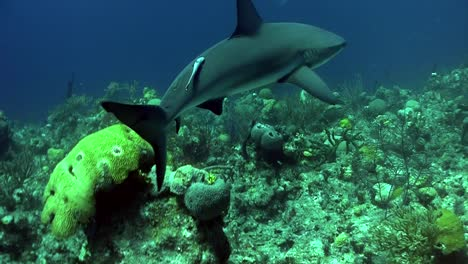 Underwater-shot-of-a-shark-prowling-the-reef