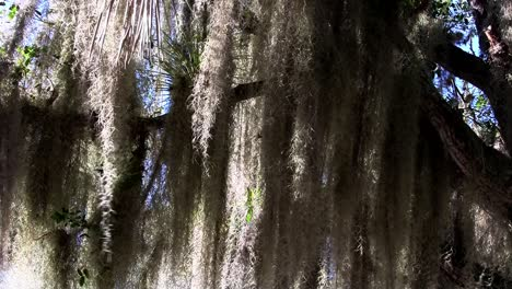 Sunlight-shines-through-Spanish-moss-hanging-from-trees-in-the-Southern-USA-1