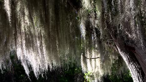 Sunlight-shines-through-Spanish-moss-hanging-from-trees-in-the-Southern-USA-2