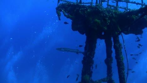 Barracuda-swim-around-a-wreck-underwater