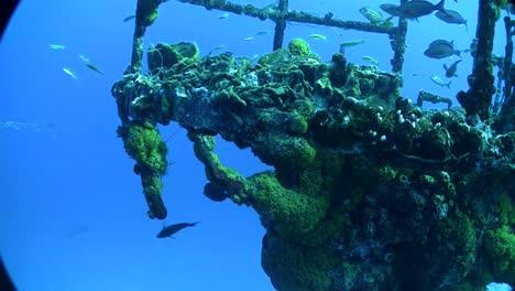 Fish-swim-around-and-colonize-a-shipwreck
