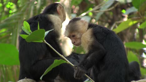 Whitefaced-capucin-monkeys-play-in-a-palm-tree-in-Costa-Rica-1