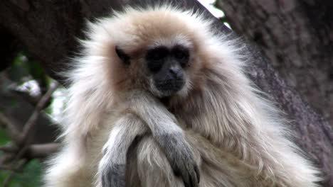 A-white-handed-gibbon-sits-in-a-tree-1