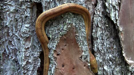 A-yellow-rat-snake-slithers-through-a-tree-in-the-Florida-Everglades-1