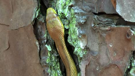 A-yellow-rat-snake-slithers-through-a-tree-in-the-Florida-Everglades-2