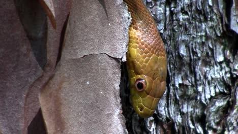 Eine-Gelbe-Rattenschlange-Schlittert-Durch-Einen-Baum-In-Den-Everglades-Von-Florida-4