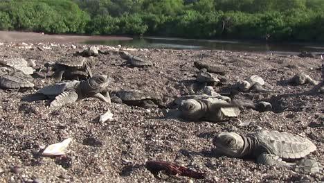 A-dog-walks-nearby-as-baby-sea-turtles-struggle-down-the-beach