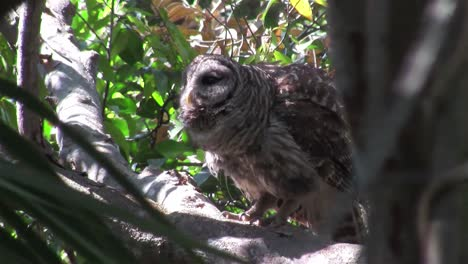 A-barred-owl-calls-out-from-a-tree-1