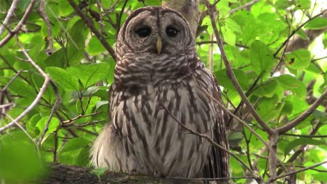 A-barred-owl-calls-out-from-a-tree-2