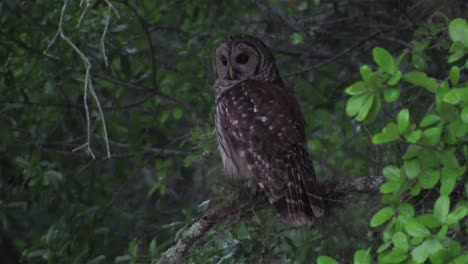 A-barred-owl-looks-around-from-his-perch-in-a-tree
