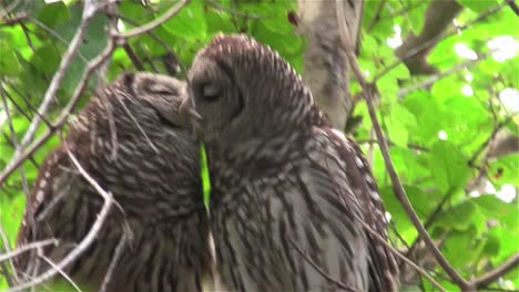 Two-barred-owls-kiss-in-a-tree