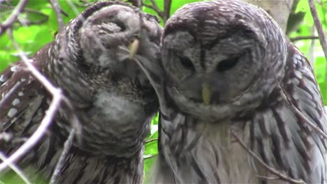 Two-barred-owls-kiss-in-a-tree-1