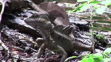 A-basilisk-lizard-observes-its-surrounding
