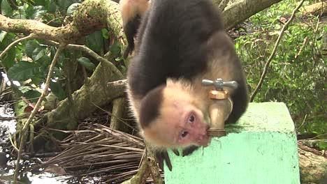 Un-Mono-Capuchino-Bebe-De-Una-Fuente-De-Agua